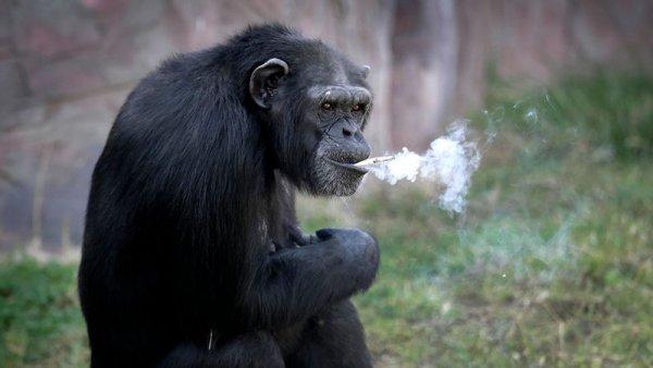 朝鲜平壤的中央动物园里19岁黑猩猩一天一包烟