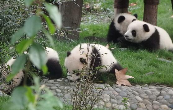 世界中华周氏宗亲联谊总会参观考察成都大熊猫繁育研究基地